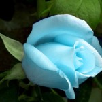 Beautiful Collection of Rose Pictures