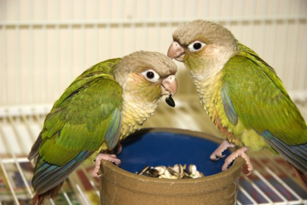 Cinnamon Green Cheek Conures