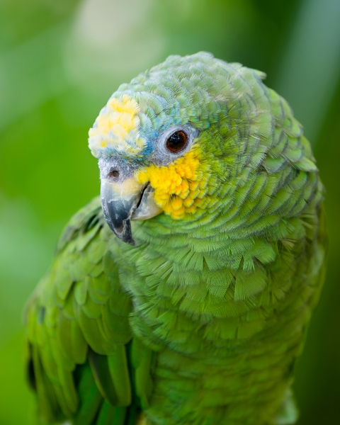 Green and Yellow Conure