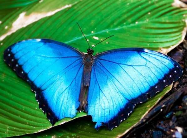 Blue Butterfly Leaf