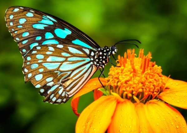 Turquoise and Black Butterfly on a Yellow Flower