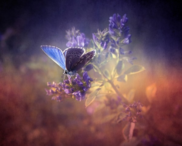 Blue and Purple Stunning Butterfly