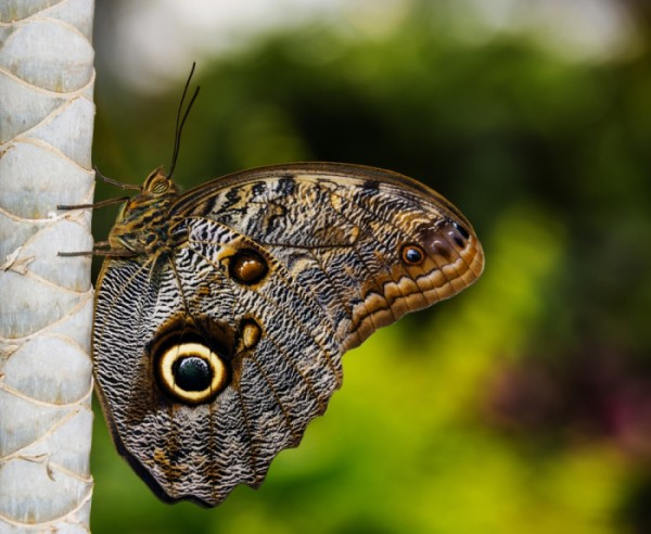 Dark and Light Brown Butterfly