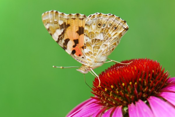Mixed Brown Butterfly on a Flower
