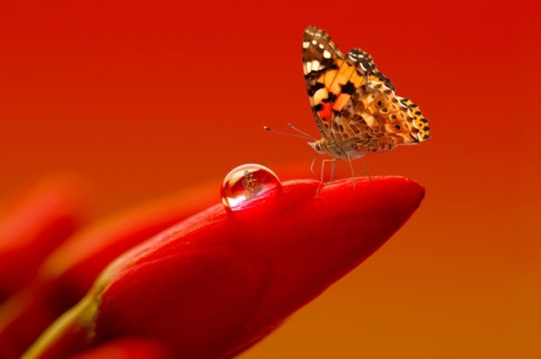 Amazing View of an Orange Butterfly on a Red Tulip