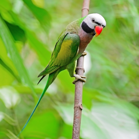 Green and Colorful Parakeet