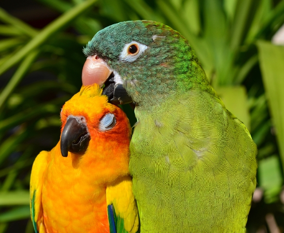 Green Cheeked and Sun Conure