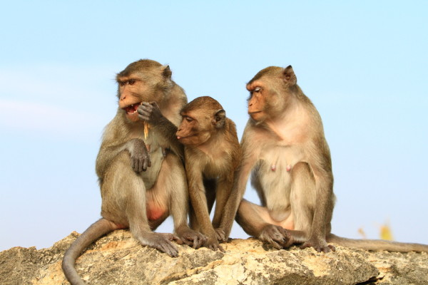 Three Monkeys Sitting