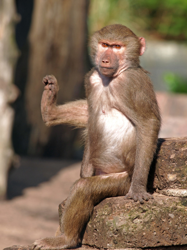 A Monkey Lifting his Leg in the Sun