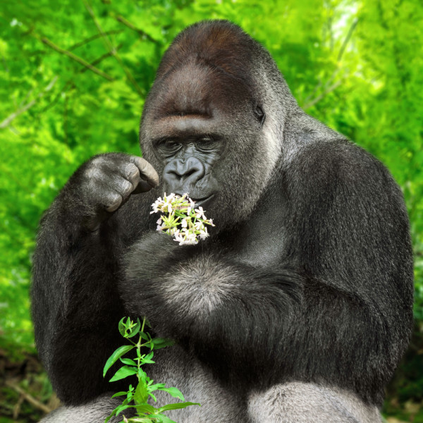 A Gorilla Picking a Flower