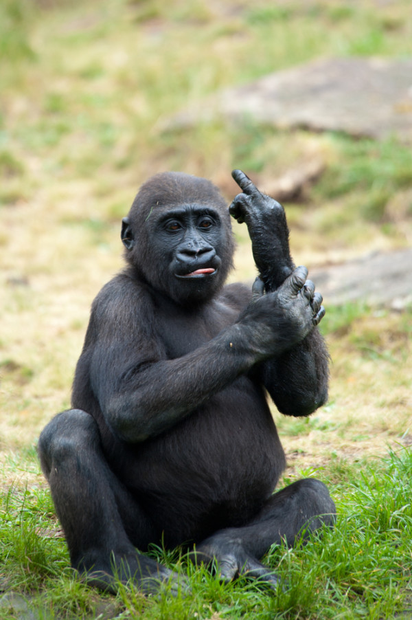 A Monkey Showing his Middle Finger