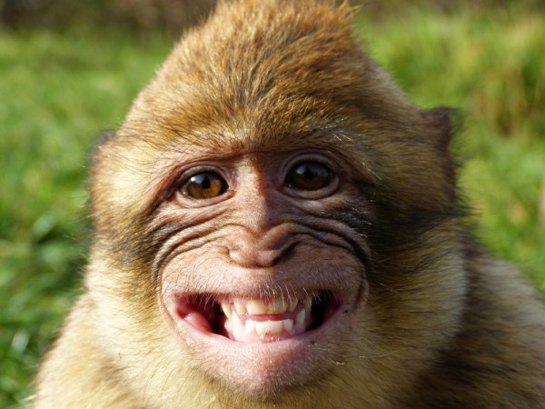 A Monkey Showing his Teeth