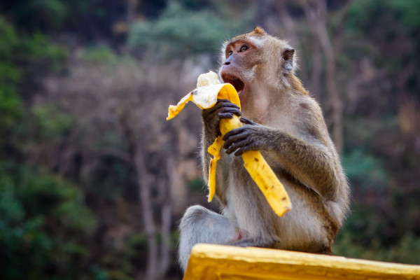 A Monkey is about to eat his banana